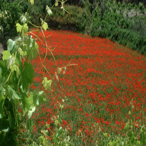 Neighbour's field full of poppies!