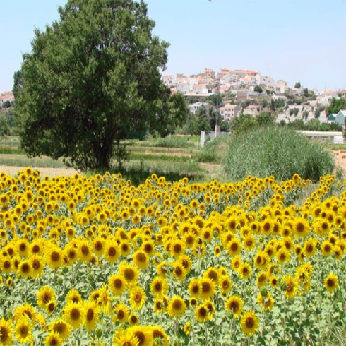 Sunflowers on approaching the village.